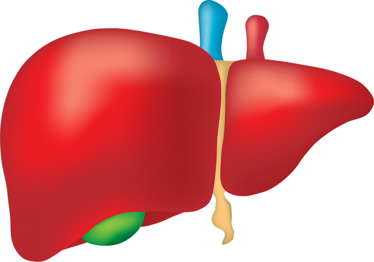 liver-2934612_1280-1200x841.png
