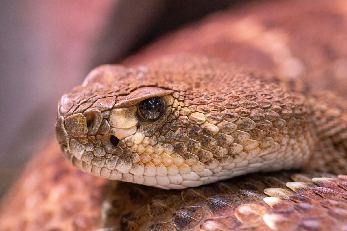 rattlesnake-4701568_1280-1200x800.jpg
