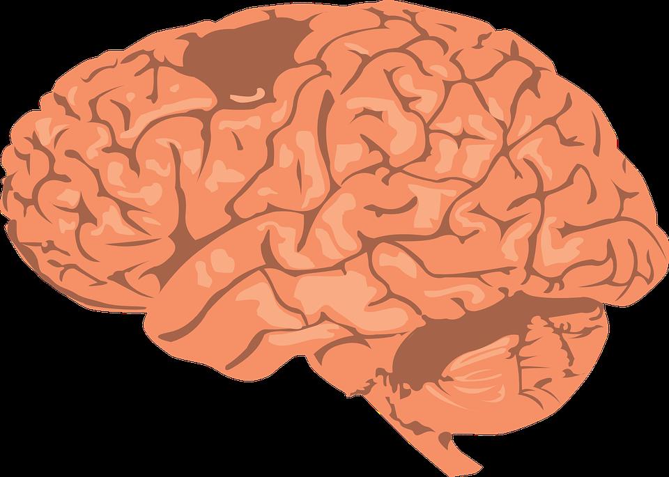 brain-308580_960_720.png